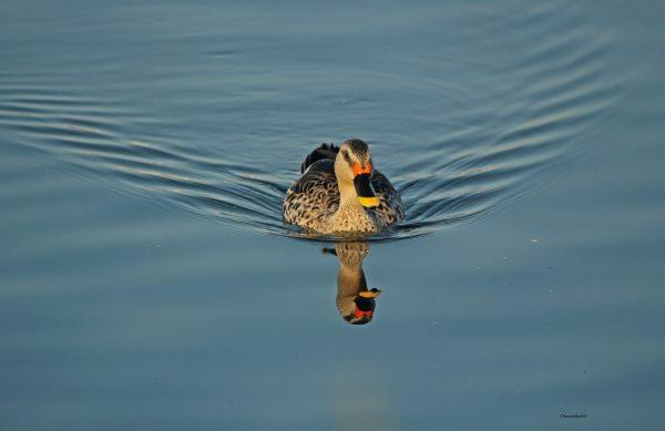 1_Duck