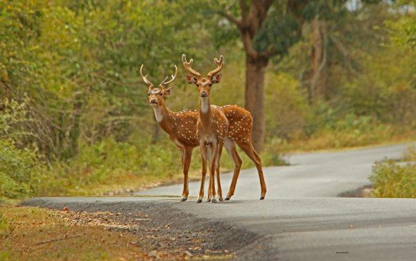 5_Deer