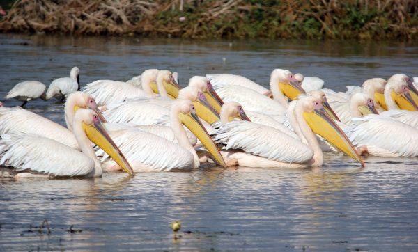 7_Pelican-1