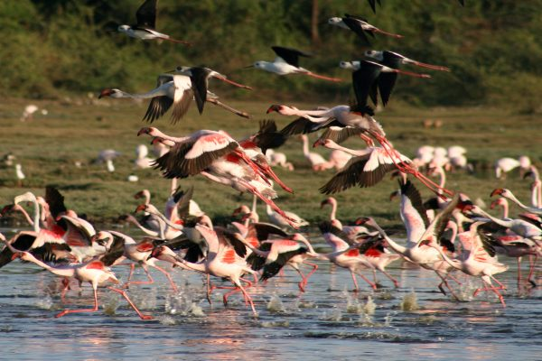 8_Flamingo